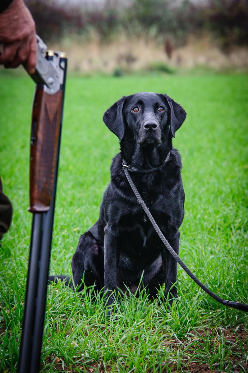 Gundog Ruby