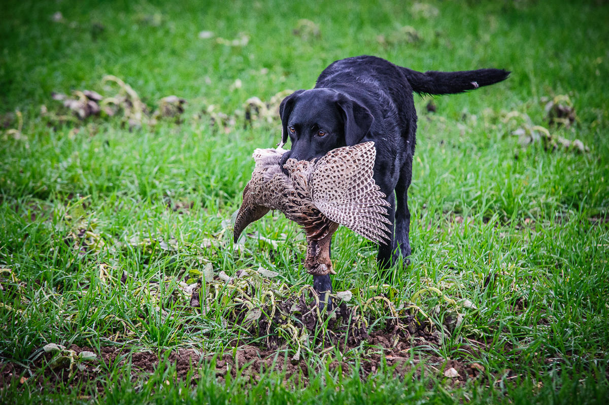 Working Gundog